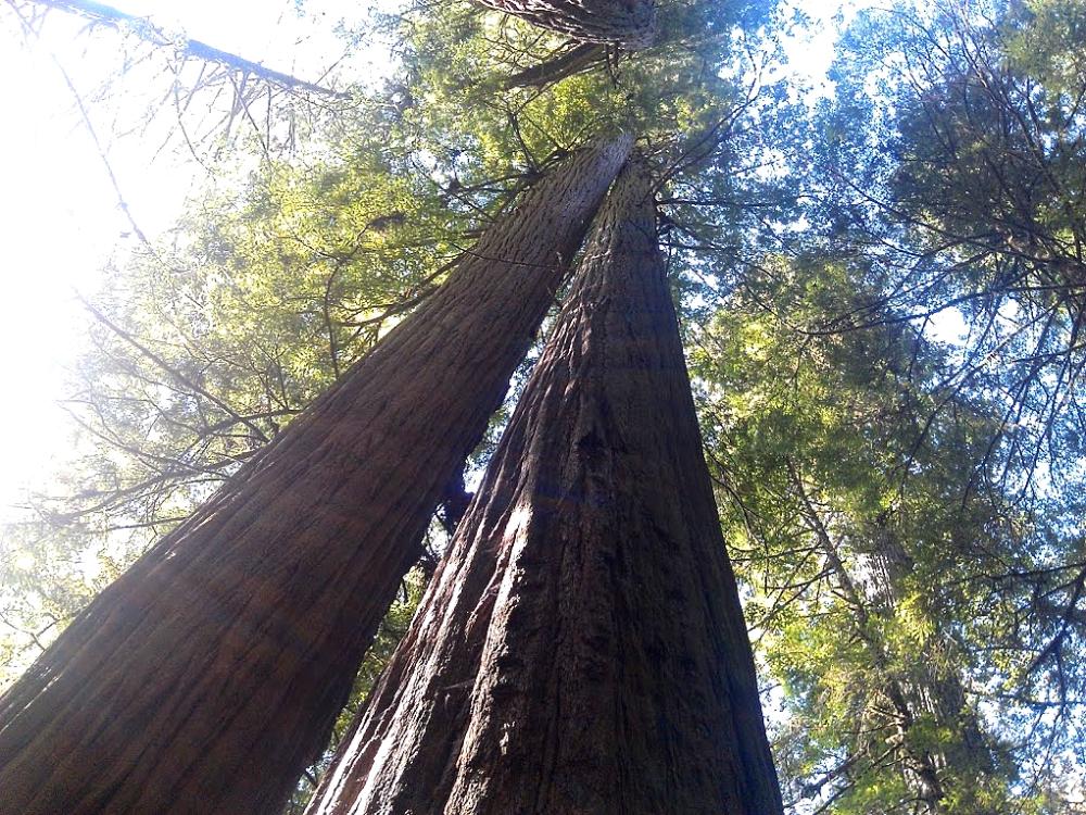 TwoRedwoodsBlog